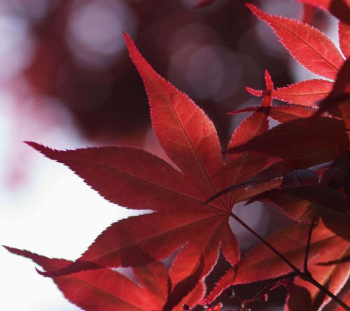 Beautiful Nature Red Leaves